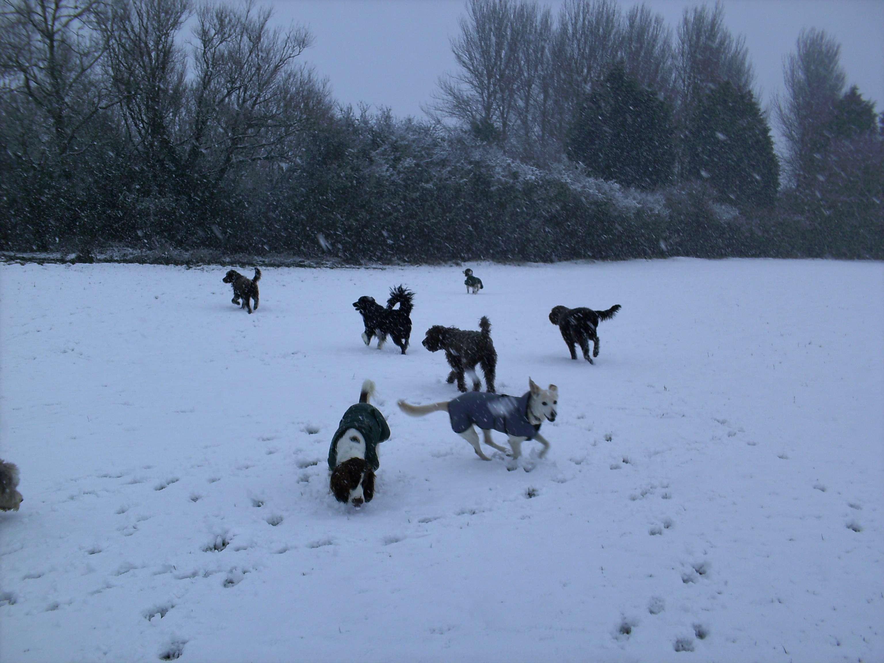 Kennel Cough Group Dog Walks
